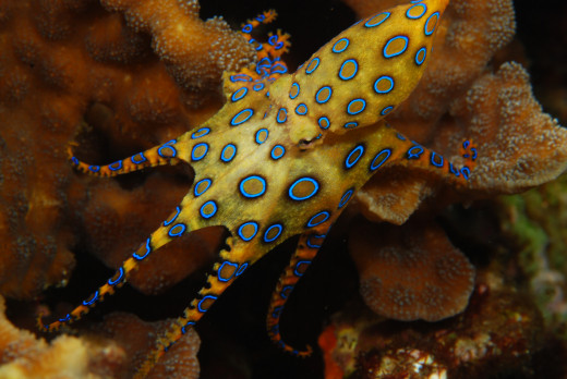 Blue-ringed octopus showing off it's colors as a warning.