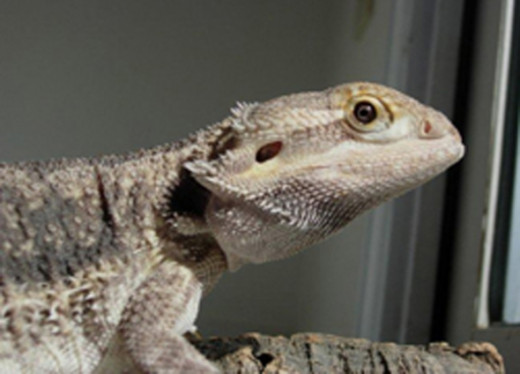 Bearded Dragon Picture On Reptile's Eyes