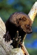 Fishers (Fisher Cat) A Forest Predator