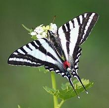 Zebra Swallowtail.