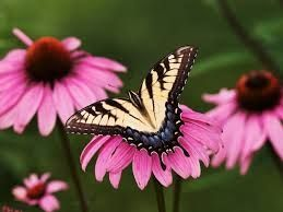 Eastern Tiger Swallowtail on Purple Coneflower