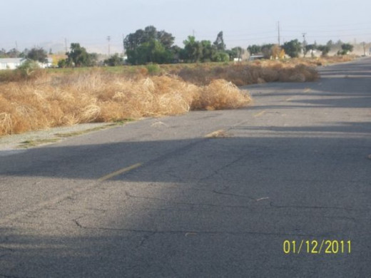You can see them massing, waiting for the right minute to strike. These two tumbleweed herds did roll down the street and contribute to the ones in our yard.
