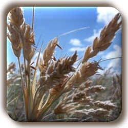 Grain by Melodi2