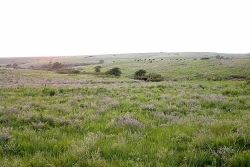 Konza Prairie with buffalo in background