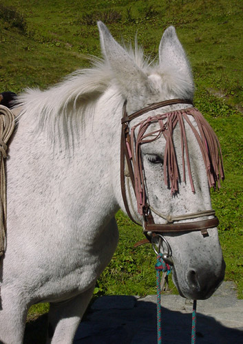 A Grey Mule