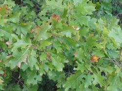 Oak Tree - fall colors or the drought?