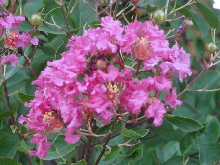 One view of my crepe myrtle continuing to bloom.