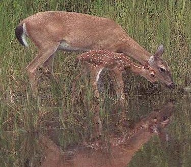 A Mother and her baby drinking from the bayou off the Gulf of Mexico