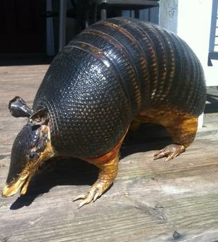 A preserved armadillo on a pier out on the bayou