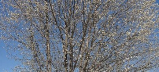 Do you see the Cardinal in the tree?