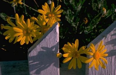 These remind me of Black-eyed Susans,  a daisy-like flower of medium height.