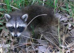 A kit - a baby raccoon