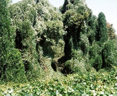 Finally you will see total invasion, the roadsides are covered in Kudzu