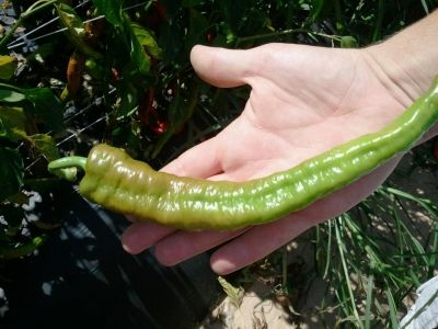 Fresh Hot Pepper