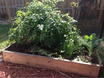 An Abundance ot Veggie can Be Grown in Raised Garden Boxes.