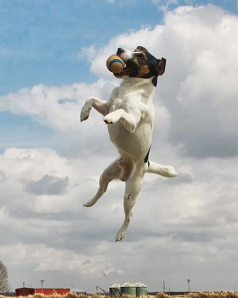http://en.wikipedia.org/wiki/File:Jack_Russell_catching_ball.jpg