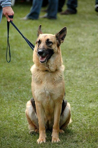 http://commons.wikimedia.org/wiki/File:German_Shepherd_Dog_sitting_leash.jpg