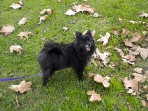 Nanna - My new 10 pound purebred Pomeranian (look at the big smile on her face!)