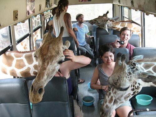 Feeding giraffes on the safari bus.