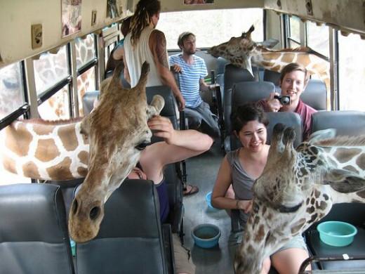 Feeding giraffes on the safari bus.