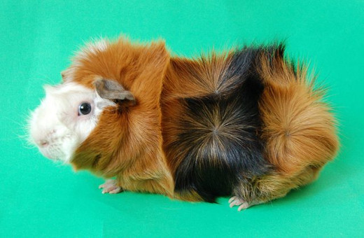 Note the rosettes all over this fine example of a rough-coated guinea pig. Photo from Wikimedia Commons.