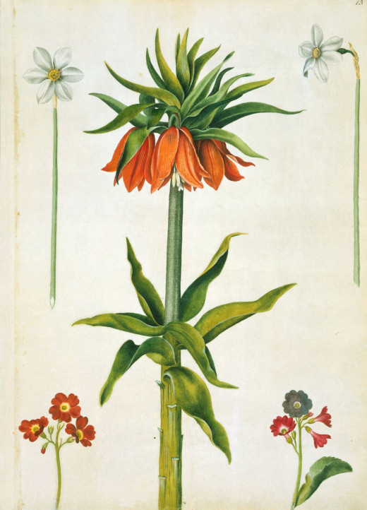 Crown imperial, narcissi and auriculas by Alexander Marshal