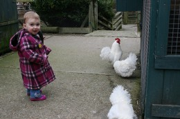 Chicken chasing - copyright Stephen Fulljames