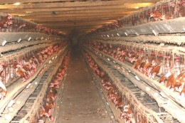 Battery egg-laying chickens in a shed.