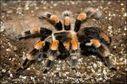 image credit - Mexican Red-Kneed Tarantula Insect Museum - photo taken by Charles Tilford at the Insectropolis Bugseum in Toms River, New Jersey