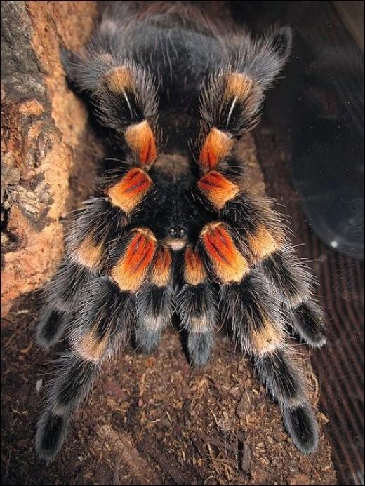 image credit - another photo of an Orange Knee tarantula taken by Tarantuland