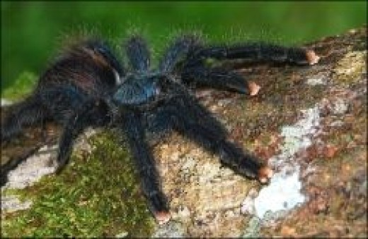 image credit - Avicularia aviculariaby by Adrian Alfonso