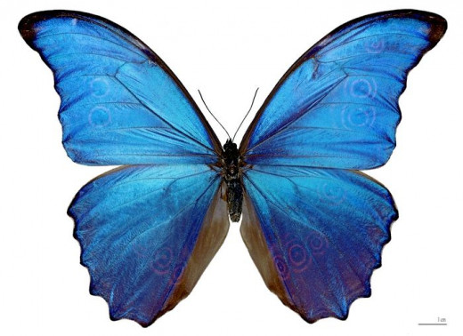 The real-life butterfly behind the costume - image credit - Morpho didius wikimedia cc