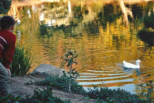Geese on the little lake at the park.