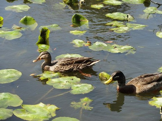 Ducks in a pond. Taken on a trip to Dallas 2008.