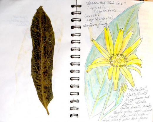 A mule's ear flower and leaf.  The leaves are as soft as velvet.