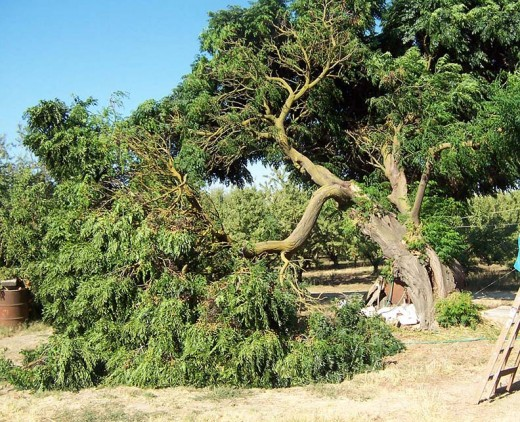 Chinaberry tree branches break easily.  From Great Dreams blog.