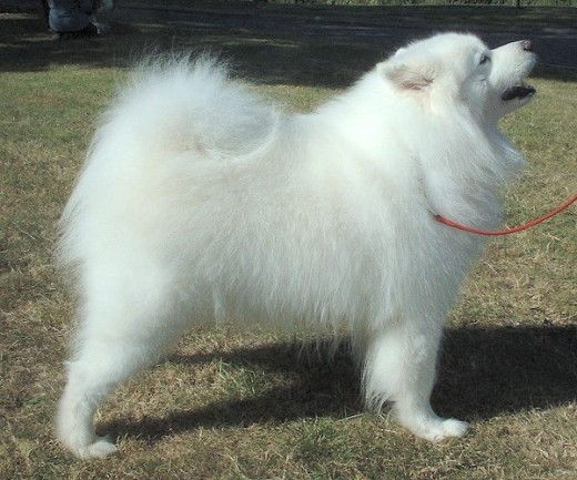 This breed was named after the nomadic Arctic tribe whom it served as sled dog, reindeer herder and pet. Was brought to England 100 years ago. Average weight 55 pounds, height 22 inches. Double white coat.