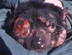Tasmanian Devil With Facial Tumours