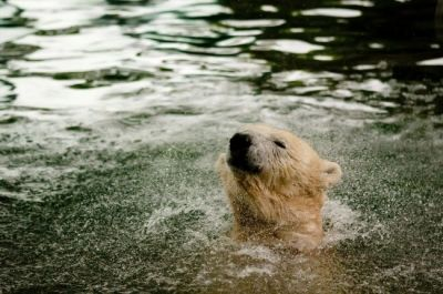 Polar Bears: Excellent Swimmers!