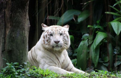 Panthera tigris - The Tiger