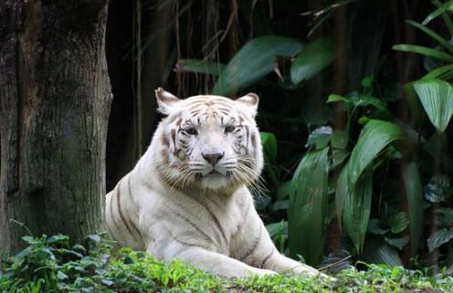 Regal tiger.