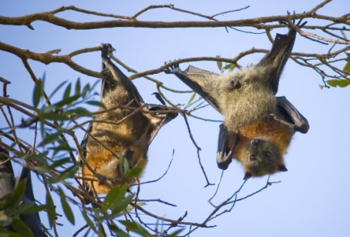 Gray Headed Flying Foxes.