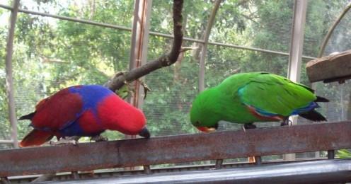 A pair of Eclectus Parrots.