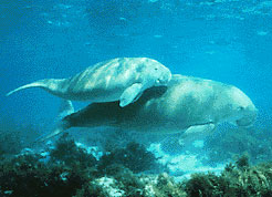 Dugong with calf.   http://commons.wikimedia.org/wiki/File:Dugong.jpg?uselang=en-gb#file