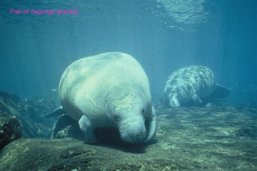 http://commons.wikimedia.org/wiki/File%3ATwo_west_Indian_manatee_trichechus_manatus_foraging_for_food.jpg via Wikimedia Commons