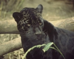 Black Panthers & Leopards