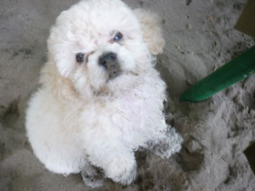 Mini French Poodle Puppy