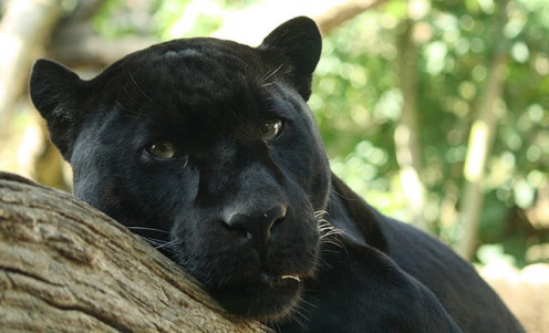 Black Leopard.  By Bruce McAdam from Reykjavik, Iceland (http://creativecommons.org/licenses/by-sa/2.0)], via Wikimedia Commons