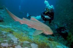 Wicked Diving - Leopard Shark