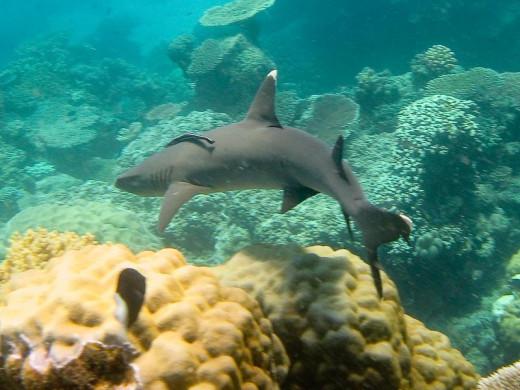 Whitetip Reef Shark, Great Barrier Reef